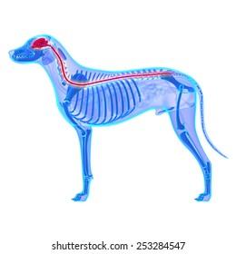 Dog Nervous System - Canis Lupus Familiaris Anatomy