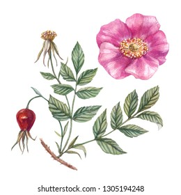 Dog rose branch. Watercolor botanical illustration. Hand painted pink rose with leaves isolated on white background.