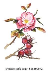 dog rose watercolor