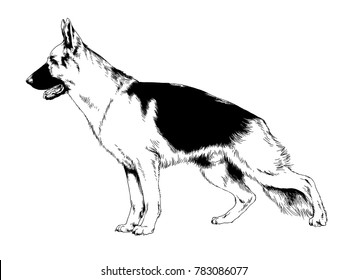 dog shepherd drawn in ink by hand in full growth on a white background