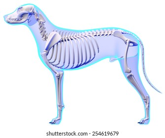 Dog Skeleton Anatomy