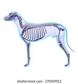 Dog Skeleton Anatomy
