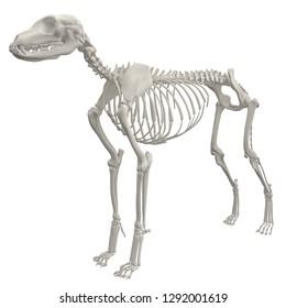Dog Skeleton Anatomy. 3d rendering