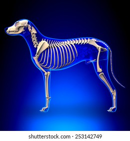 Dog Skeleton - Canis Lupus Familiaris Anatomy