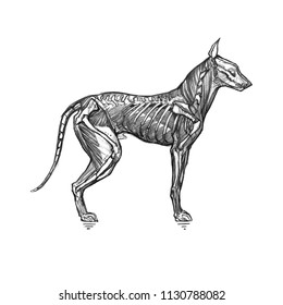 The dog skeleton and muscles. Graphic illustration with a scary dog, or hell hound. It can be used for printing on t-shirts, cards, or used as ideas for tattoos.