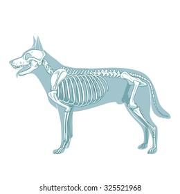 Dog skeleton veterinary raster illustration, dog osteology, bones