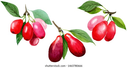 Dogwood red fruit and green leaves. Watercolor background illustration set. Watercolour drawing fashion aquarelle isolated. Isolated cornus mas illustration element.