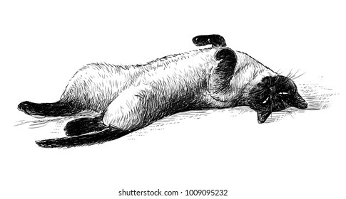 A domestic siamese cat resting