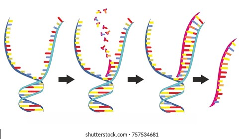 Double stranded DNA is copied into single stranded messenger RNA in a transcription. Transcription of DNA is a part of gene expression in an eukaryotic cell.