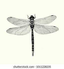 Dragonfly ink drawing