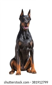 Drawing Doberman dog, portrait on a white background