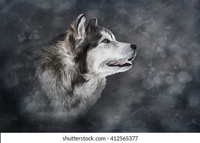 Drawing Dog Alaskan Malamute on old vintage color grunge paper