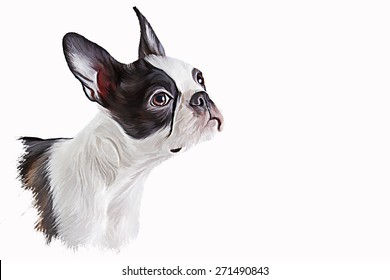 Drawing dog portrait Boston Terrier, portrait  oil painting on a white background