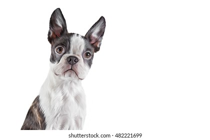 Drawing dog portrait Boston Terrier portrait on a white background