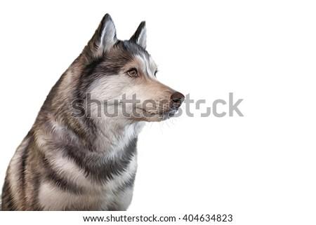 drawing dog siberian husky portrait on stock illustration 404634823
