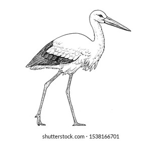 Drawing of european white stork. Sketch of bird Ciconia Ciconia, black and white illustration