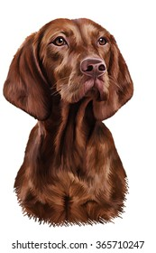 Drawing Hungarian Vizsla pointer,  Brown dog, portrait oil painting on a white background