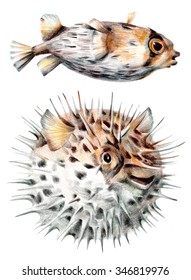 Drawing of long-spine porcupinefish also know as spiny balloonfish - Diodon holocanthus in front of a white background. Scientific Illustration.