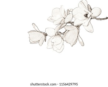 Drawing magnolia flower background.