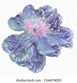 A drawing of a peony with colored pencils on a white background for design. Flowers. Isolated.Graphic arts.