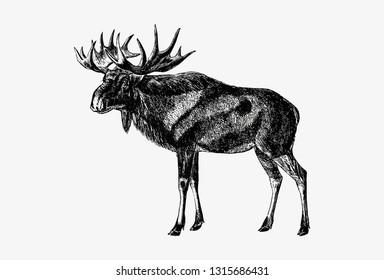Drawing of Scandinavian elk