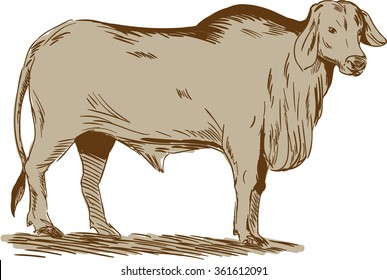 Drawing sketch style illustration of a brahman bull looking front viewed from the side set on isolated white background.
