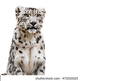 Drawing Snow leopard portrait on a white background