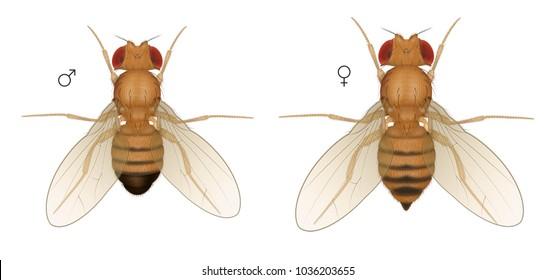 Drosophila Fruit Fly Insect. Male Female.