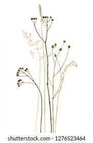 dry plants and flowers drawing in watercolor at white background, hand drawn botanical illustration