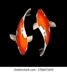 Duo colorful koi fish, japanese carp and asian traditional symbol in black background Chinese goldfish illustration.