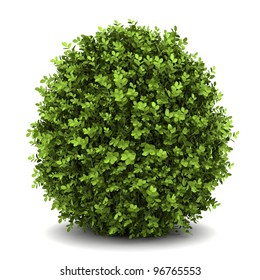 dwarf english boxwood  isolated on white background