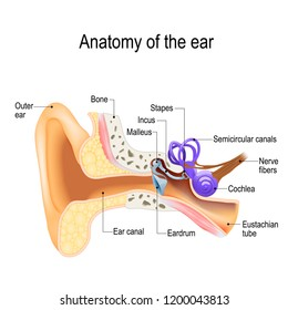 Ear anatomy. Cross-section of the right external, middle, and internal ear