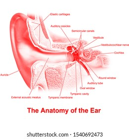 Ear - Anatomy. Frontal section through the right external, middle, and internal ear.