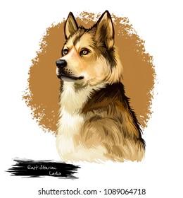 East Siberian Laika, Vostotchno-Sibirskaia Laika dog digital art illustration isolated on white background. Russian origin northern breed hunting dog. Pet hand drawn portrait. Graphic clip art design