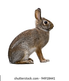 Eastern Cottontail Bunny Rabbit isolated on white
