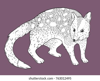 Eastern quoll engraving