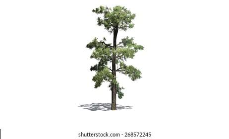 Eastern white pine - tree isolated on white background