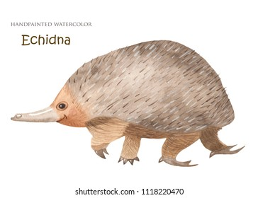 Echidna watercolor. Australian animal. Isolated illustration on white background.
