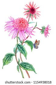Echinacea and butterfly, watercolor painting on white background. Pink terry flower, hand drawing, isolated with clipping path.