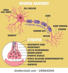 ector scientific icon structure of neuron and synapse. Description of the anatomy of the neuron of the brain and synapse. Illustration of the structure of a neuron and synapse in a flat minimalism