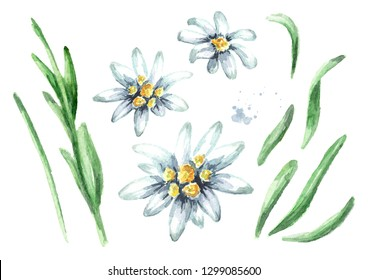 Edelweiss flower (Leontopodium alpinum) elements set, Watercolor hand drawn illustration isolated on white background