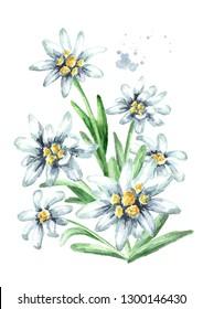 Edelweiss flowers (Leontopodium alpinum) watercolor hand drawn illustration, isolated on white background
