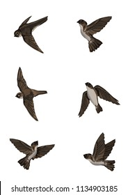 Edible-nest swiftlet (Aerodramus fuciphagus).