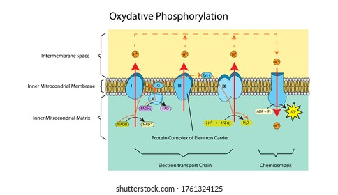 Education chart of hydrogen ion transports across the plasma membrane by protein complex and gives ATP energy to cell that called oxidative phosphorylation.