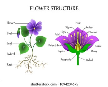 Education diagram of botany and biology, the structure of the flower in a section. Training banner scheme for scientific study, illustration.