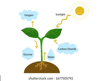 Educational illustration of how plants' photosynthesis