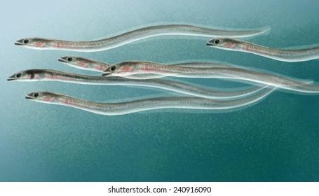 Eels elvers