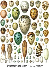 Eggs of birds, turtles, fish and cephalopods, plus butterflies - Vintage illustration from Meyers Konversations-Lexikon 1897