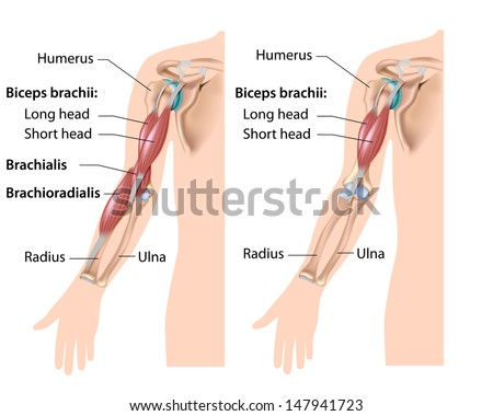 Elbow Flexor Muscles Labeled Drawing Stock Illustration 147941723 ...