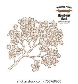 Elderberry black common names sambucus. Hand drawn elder branch with flowers  illustration isolated on white background.